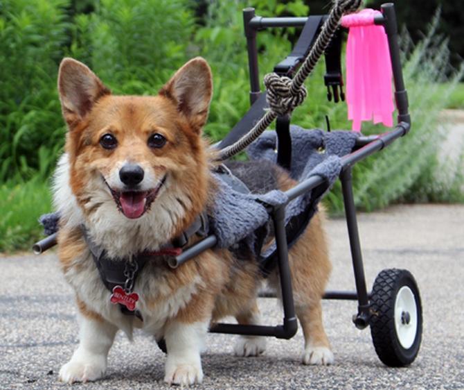 degenerative myelopathien der hunde